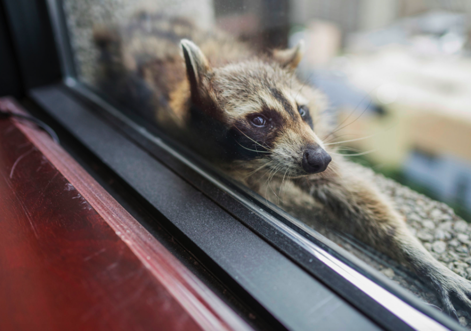 <em>The hashtag #mprraccoon began trending as the raccoon's plight was captured (PA)</em>