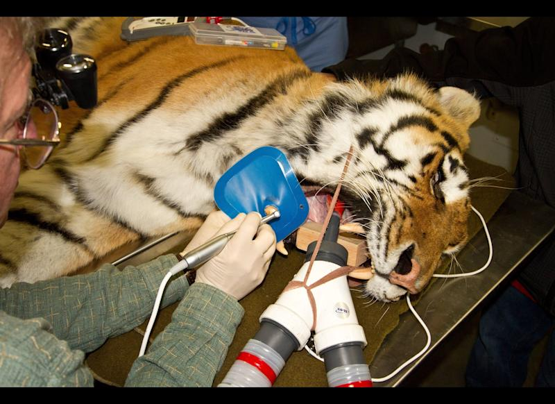 Dr. Doug Luiten drills the tooth of Kunali, a 300-pound, 7-year-old Siberian tiger, during root canal surgery at the Alaska Zoo in Anchorage, Alaska, Oct. 20, 2011. This was the first procedure in a recently opened operating room and the first for the zoo's new veterinary table, complete with hydraulic lift and fold-out leafs to accommodate limbs and tails.