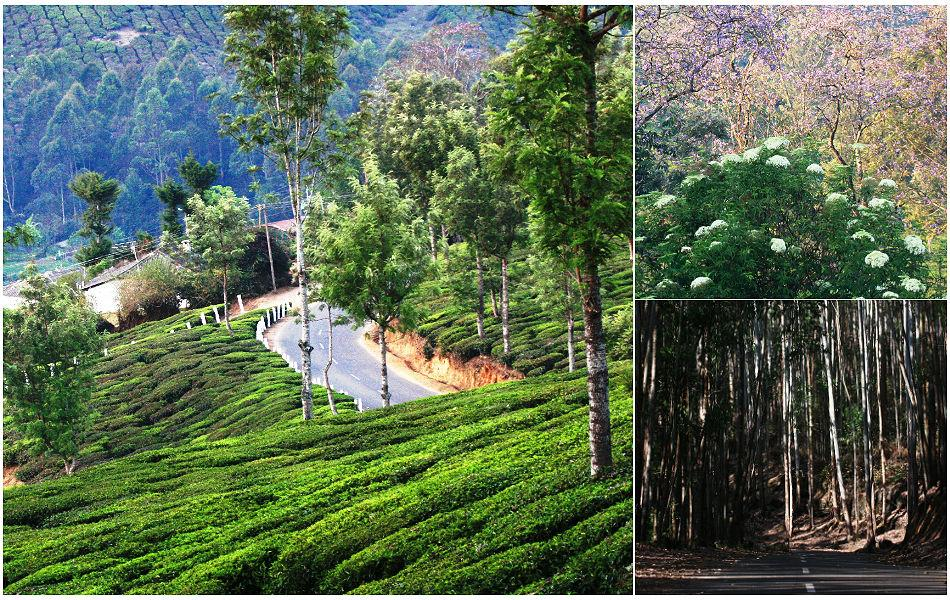 """<b>Munnar landscape:</b> Most tourists know Munnar for its tea gardens. with its small, rolling hills, lantana hedges and wild roses, Munnar is perched atop the highest ranges of the Western Ghats. Jacarandas (top right) were in glorious bloom by March end. Put on your shades and the exquisite purple turns to blue. Thirty-five km from Munnar is the Pampadum Shola National Park. """"Pampadam Shola"""" translates to """"the forest where the snake dances"""". These evergreen montane forests (if you ignore the gum trees) lie along the Kochi-Kodaikanal Road, the highest motorway south of the Himalayas.<br><br><b>ABOUT THE WRITER/ PHOTOGRAPHER:</b><br><b>Gayatri Hazarika</b> is a communication specialist in the IT industry. A passionate traveler, she lives in Bangalore."""