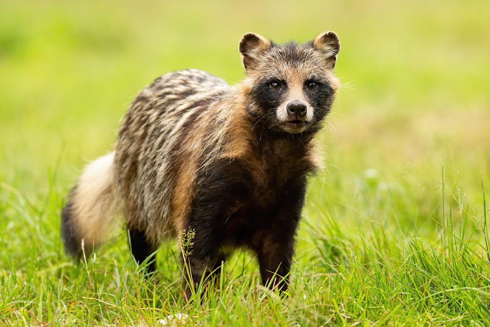 Racoon dogs are closer to foxes and badgers than actual racoons or dogs (Shutterstock/WildMedia)