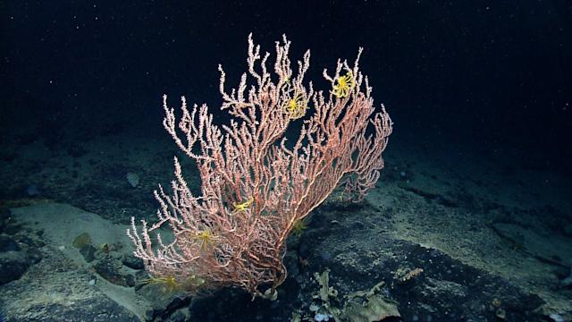 <p><span>This colony of bamboo coral (family Isididae), found along the side of Mytilus Seamount, has crinoids attached to it. (Photo: Northeast Canyons 2013 Science Team/NOAA Okeanos Explorer Program)</span> </p>