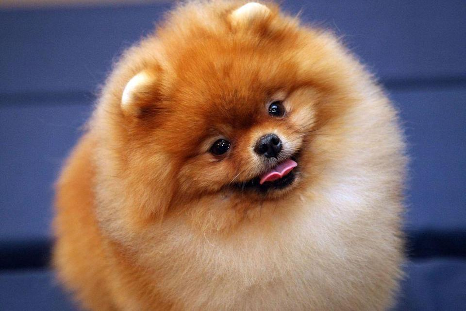 """<p>Whether you're looking for a new canine companion or not, you'll want to stop whatever you're doing and take a look at these incredibly cute small fluffy dog breeds. Like a lot of <a href=""""https://www.thepioneerwoman.com/home-lifestyle/pets/g33851902/small-dog-breeds/"""" rel=""""nofollow noopener"""" target=""""_blank"""" data-ylk=""""slk:small dog breeds"""" class=""""link rapid-noclick-resp"""">small dog breeds</a>, these fluffy pups more than make up for their size with their spunky, charming, loyal, and sometimes goofy personalities. Sure, some of them might need a little more grooming than their short-haired counterparts, but they're totally worth it. Just take a look at these adorable pictures and you'll see why it's hard <em>not</em> to fall in love with these walking balls of fluff! </p><p>Ree Drummond knows a thing or two about dogs. She has a ranch full of basset hounds and yellow Labs that provide her with lots of love and laughs—and they even graciously act as taste-testers for her latest <a href=""""https://www.thepioneerwoman.com/products/a35915323/the-pioneer-woman-jerky-dog-treats/"""" rel=""""nofollow noopener"""" target=""""_blank"""" data-ylk=""""slk:dog treats"""" class=""""link rapid-noclick-resp"""">dog treats</a>! While Ree tends to prefer <a href=""""https://www.thepioneerwoman.com/home-lifestyle/pets/g35482456/medium-sized-dog-breeds/"""" rel=""""nofollow noopener"""" target=""""_blank"""" data-ylk=""""slk:medium sized dog breeds"""" class=""""link rapid-noclick-resp"""">medium sized dog breeds</a> and <a href=""""https://www.thepioneerwoman.com/home-lifestyle/pets/g32065740/large-dog-breeds/"""" rel=""""nofollow noopener"""" target=""""_blank"""" data-ylk=""""slk:large dog breeds"""" class=""""link rapid-noclick-resp"""">large dog breeds</a>, even she would probably admit some of these small guys could hold their own on the ranch. After all, working breeds on the list like Cairn terriers and West Highland terriers were originally bred to root out foxes, badgers, and even rats.</p><p>That said, these small fluffy dog breeds are also perfectly suited to"""