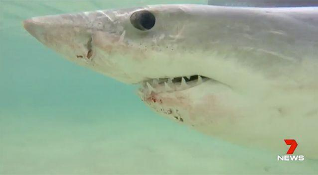 The shark appeared to be injured. Source: 7 News