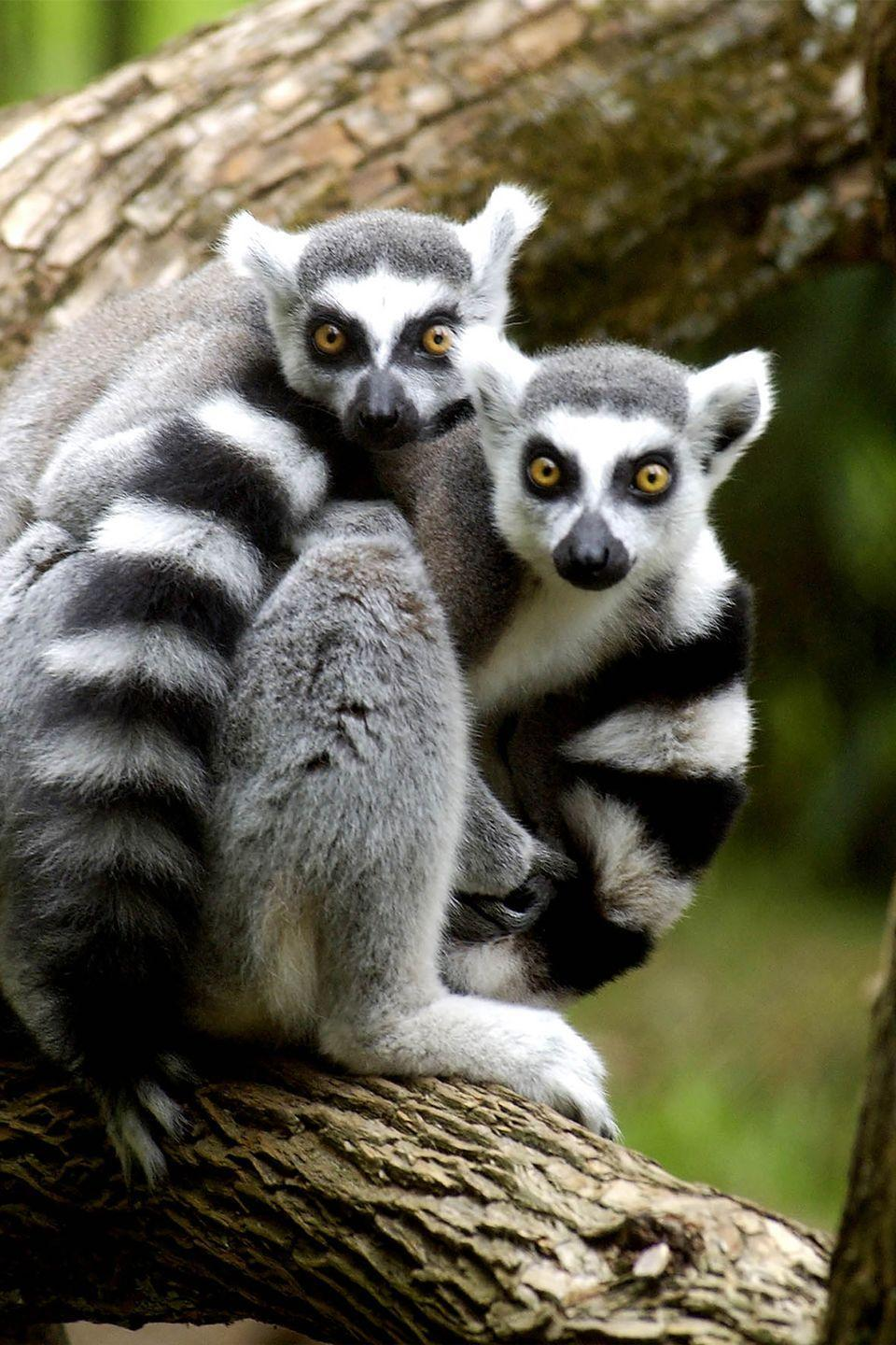 <p>Ringtail lemurs have one of the most unique conflict-resolution tactics of all animals: stink fights. Since lemurs live in large social groups of 20 to 30, breeding season can bring a lot of competition. Male ringtails have scent glands on their wrists and shoulders. The wrist gland produces a volatile, short-lived odor, while the shoulder gland produces a brown, toothpaste-like substance, which is much longer lasting. Basically, male lemurs wave their tails and waft a fragrance toward their rivals, resulting in a smelly standoff until someone backs off.</p>