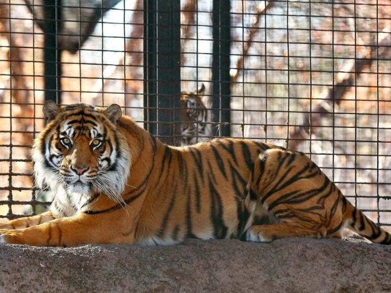 Tiger attacks zookeeper in front of visitors: 'He is a wild animal and was acting on instinct'