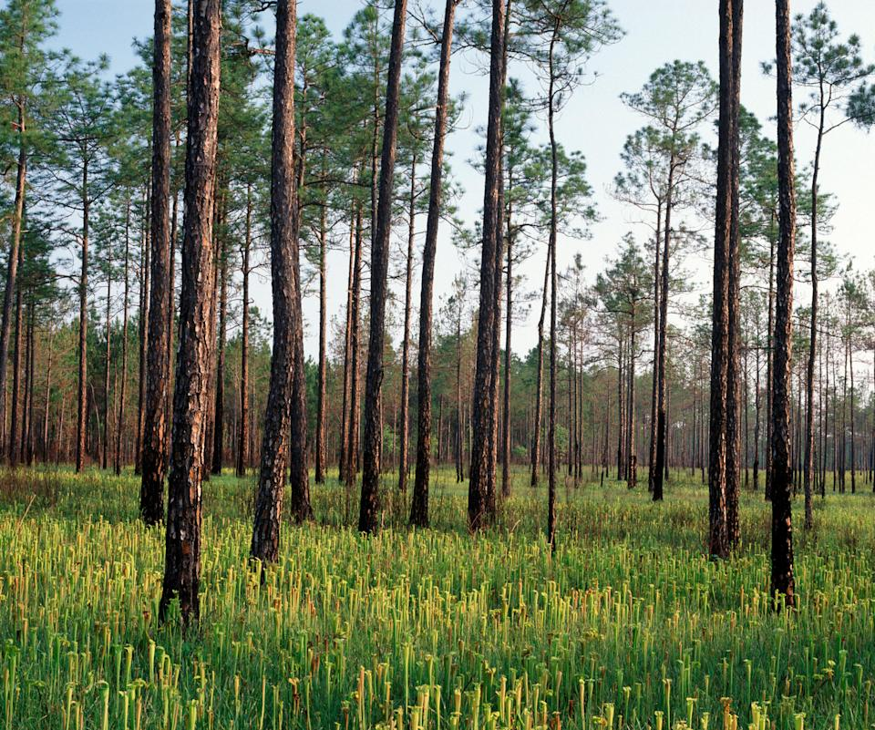 <p><strong>Let's start big picture. What's the vibe here?</strong> There's just over half a million acres of coniferous forest in this one, which is among the most important natural regions in the Gulf Coast. After a 35-minute drive from central Hattiesburg, exploring the forest is a relatively straightforward task, thanks to several trails. Hiking, ATV, horse, and bike trails are all incorporated into the landscape, meaning that different levels of challenge are available, and there's something for both casual and more experienced hikers.</p> <p><strong>Any standout features or must-sees?</strong> The Black Creek National Scenic River is the only river with this designation in the state of Mississippi, and many hikers make this the focus of their expedition. It stretches for some 30 miles. The highlight is the wildlife, which includes river otters as well as a plethora of birds. There are some discreetly constructed platforms along the way to help with wildlife observation and basic camping facilities. There's also the option to rent canoes or kayaks.</p> <p><strong>How fit and active do we need to be to enjoy the forest?</strong> The longest hiking trails are the National Recreation Trails, the Black Creek, and the Tuxachanie, which combined have more than 60 miles of prime hiking to offer. There isn't too much in the way of difficult elevation, but the ability to comfortably walk longer distances is going to be a factor when deciding whether to take these trails.</p> <p><strong>All said and done, what—and who—is this best for?</strong> The well thought out trails devoted to different means of transport and hiking, as well as the ability to kayak and canoe, means that the forest is attractive for almost everyone that enjoys the outdoors. First-time and expert hikers will find trails that appeal to them, and family camping is easy at any one of the developed campsites. All in all, it's a great all around destination where almost all non-sporting outdoor pursuits ar