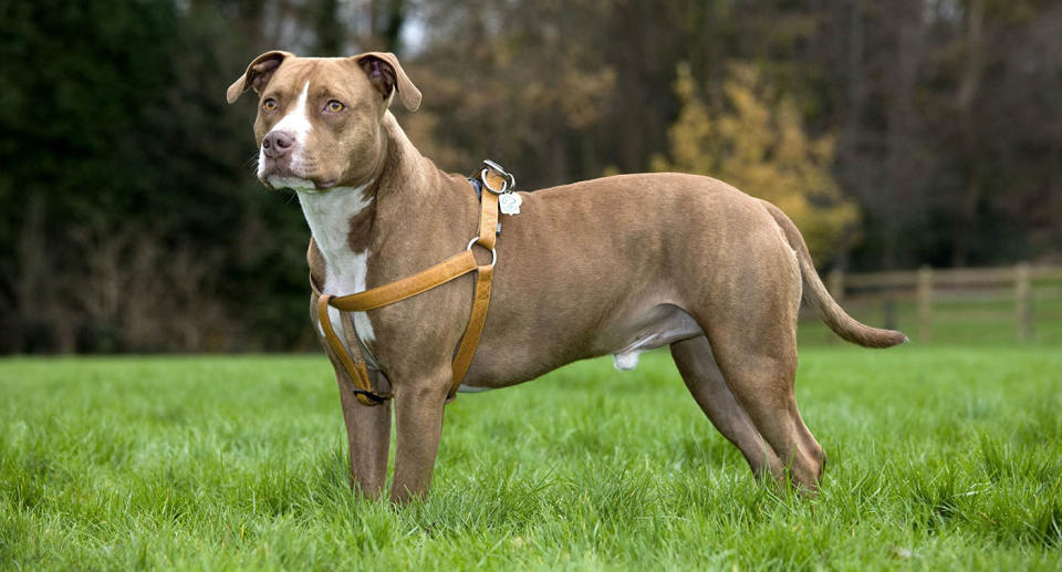 American Staffordshire Terrier standing in grass. Source: Getty Image