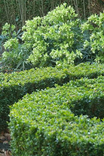 Edging plants: box hedging (buxus sempervirens)