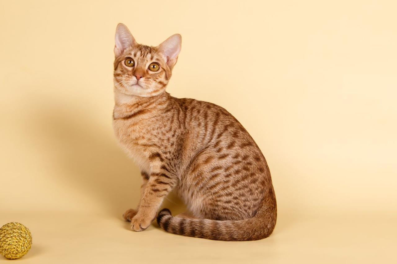 "<p>Named for its resemblance to the Ocelot (a small spotted and striped wildcat), the Oricat is <a href=""http://cfa.org/Breeds/BreedsKthruR/Ocicat.aspx"" target=""_blank"">created by crossing Siamese and Abyssinian cats, as well as American Shorthairs</a>, according to the Cat Fancier Association. It is the only spotted domestic breed selectively bred to look like wildcats.  This cat is large, athletic, and varies in appearance, coming in a dozen different colors. </p>"