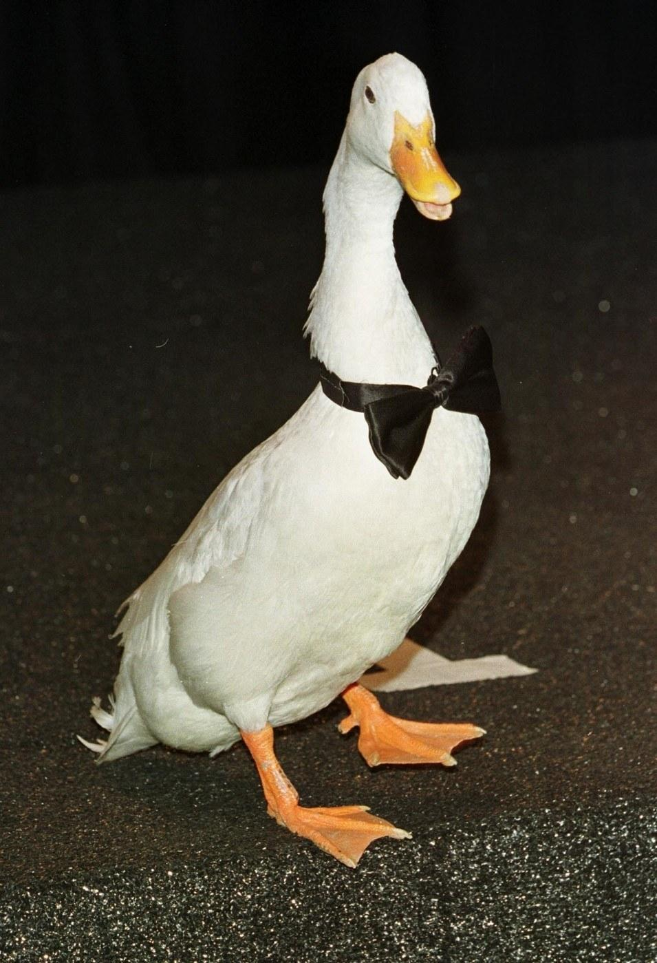 A duck with a bow tie