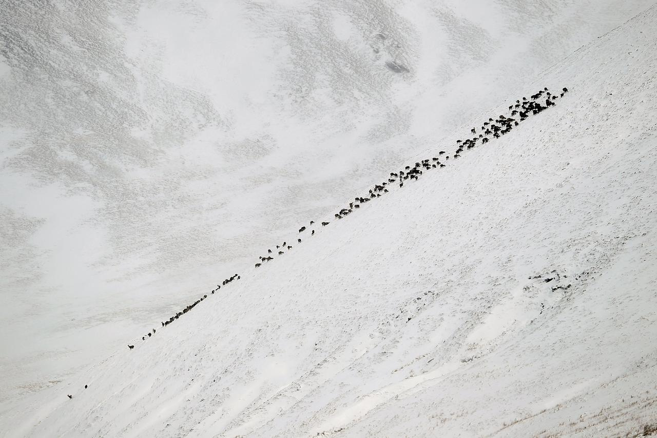 GLENSHEE, SCOTLAND - APRIL 03: Scottish deer forage for food on a hillside near the Spittal of Glenshee on April 3, 2012 in Glenshee, Scotland. Snow has returned to parts of Scotland just a week after the country experienced record high temperatures for March. (Photo by Jeff J Mitchell/Getty Images)