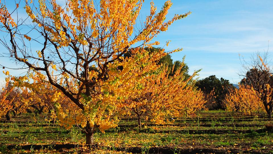 Orchard in late afternoon sunlight; Saratoga, California - Image.