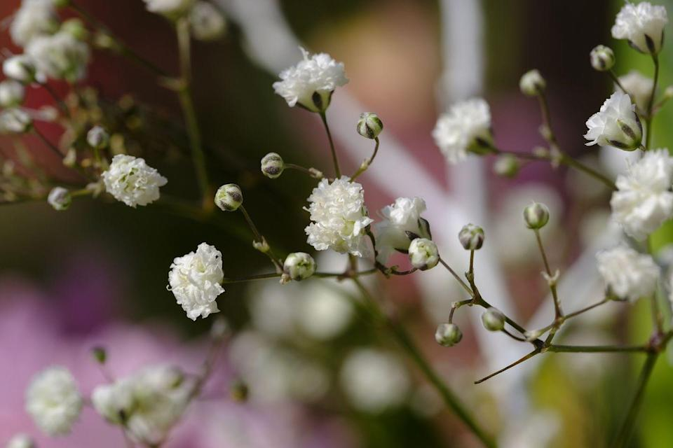 """<p>Gypsophila is a perennial herb with a thick taproot, narrow grey leaves and intricately branched, spare clusters of tiny white flowers.</p><p><a class=""""link rapid-noclick-resp"""" href=""""https://go.redirectingat.com?id=127X1599956&url=https%3A%2F%2Fwww.flowerbx.com%2Fghost-white-baby-s-breath&sref=https%3A%2F%2Fwww.housebeautiful.com%2Fuk%2Fgarden%2Fplants%2Fg22113752%2Fjuly-flowers-seasonal-bloom%2F"""" rel=""""nofollow noopener"""" target=""""_blank"""" data-ylk=""""slk:BUY NOW"""">BUY NOW</a></p>"""