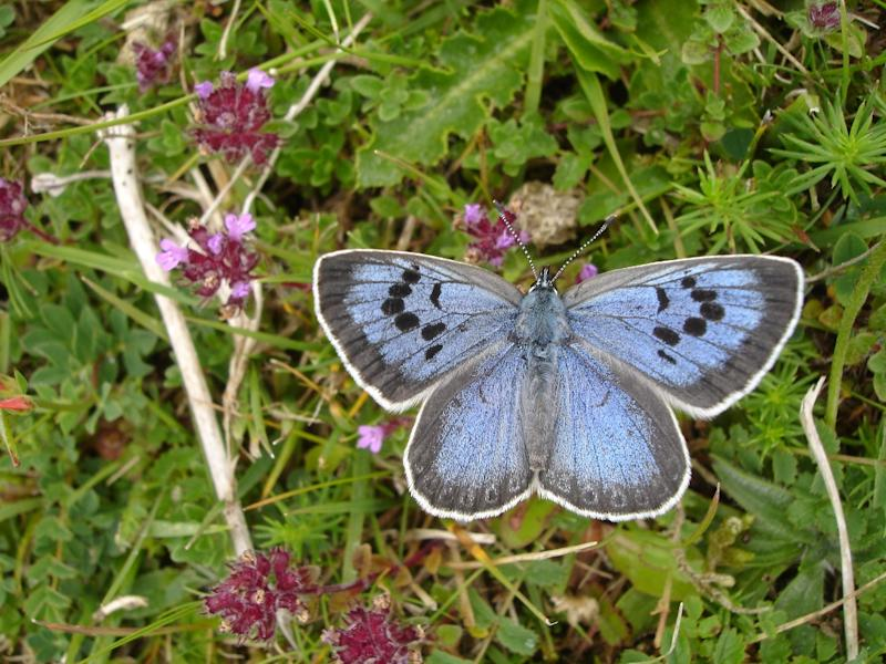 Large Blue butterflies were re-introduced into the British Isles in 1983