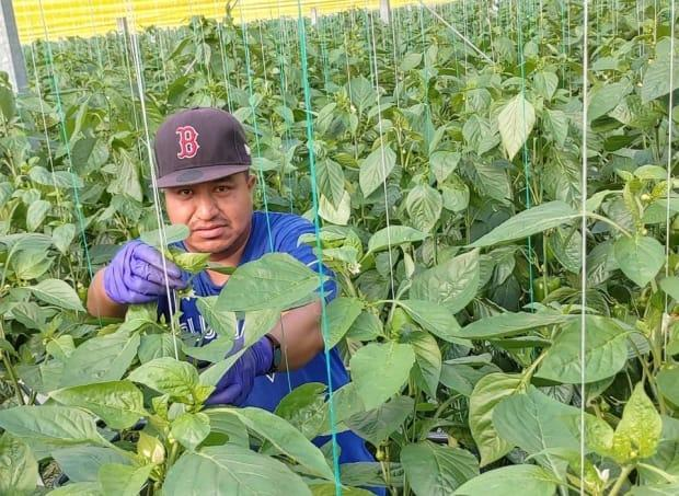 Bonifacio Eugenio-Romero sent this photo to his wife, Juana Vazquez, on April 11 while working in a greenhouse near Kingsville, Ont. He's one of three Mexican nationals who died after coming to Canada to work on farms in Ontario in 2020. (Submitted by Juana Vazquez - image credit)