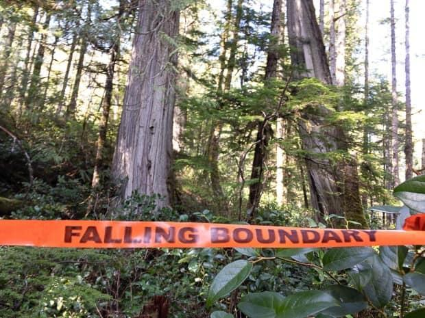 Falling boundary tape in one of seven BC Timber Sales old-growth cutblocks near the Juan de Fuca Provincial Park on Vancouver Island in 2019. (TJ Watt/Ancient Forest Alliance - image credit)