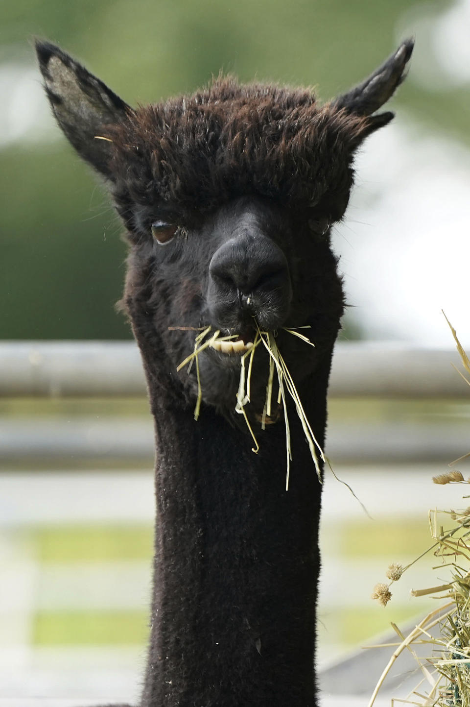 Geronimo the alpaca at Shepherds Close Farm in Wooton Under Edge village in England, Friday Aug. 27, 2021. Geronimo has twice tested positive for bovine tuberculosis and the government Department for Environment, Food and Rural Affairs (Defra) has ordered Geronimo to be destroyed, but owner Helen Macdonald believes the tests are returning false positives. (Andrew Matthews/PA via AP)