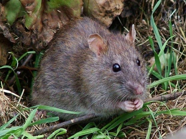 Brown rats are being forced into new areas of Nova Scotia to find food as fewer people are leaving their homes and creating waste during the COVID-19 pandemic. (Reg Mckenna/Wikimedia Commons - image credit)