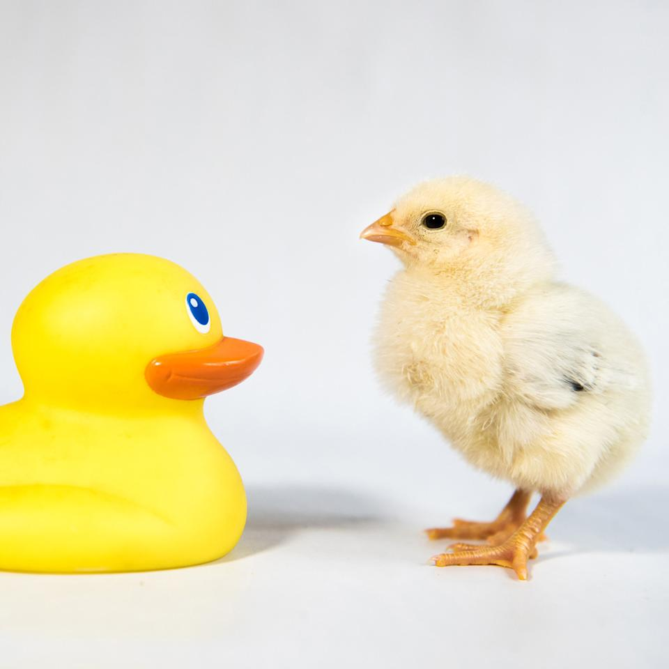 <p>A chick and a rubber duck stand face-to-face. (Photos: Alexandra C. Daley-Clark/sillychickens.com) </p>