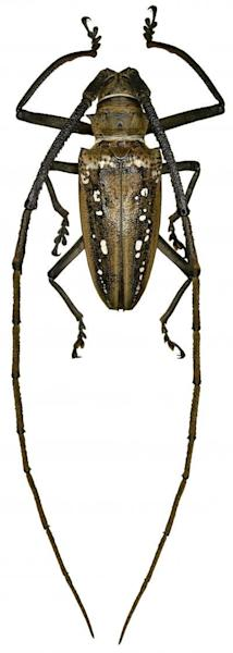 This is an image of Batocera wallacei Thomson, 1858 from Australasia, which belongs to the genus Batocera Dejean, 1835.