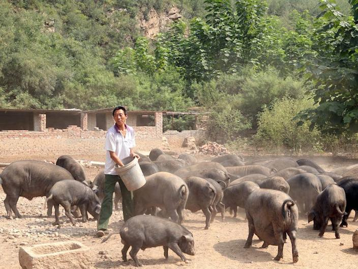 A worker feeds pigs at a farm in Xibaishan village in Hebei.