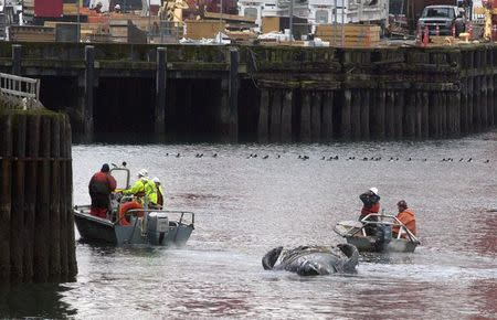 Crews tow the carcass of a deceased gray whale in Elliot Bay after it was discovered under the Colman Ferry dock in Seattle, Washington January 22, 2015. REUTERS/Matt Mills McKnight