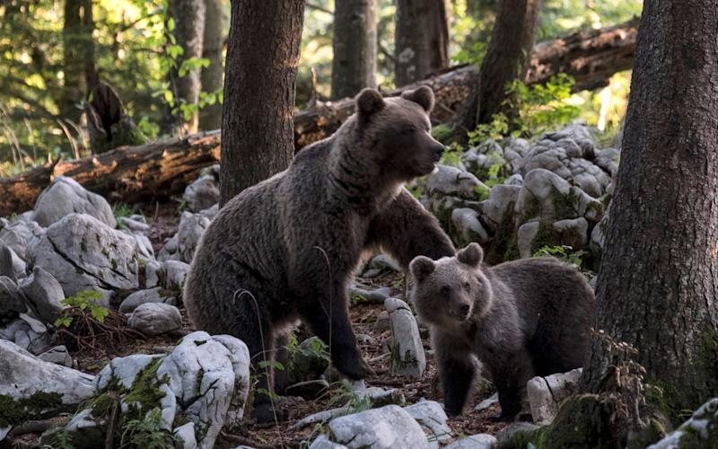 A brown bear with cub forages near Ljubljana, Slovenia - Getty Images Europe