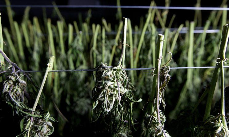 Recently harvested marijuana buds at Laura Costa's farm near Garberville, Calif. (Photo: Rich Pedroncelli/AP)