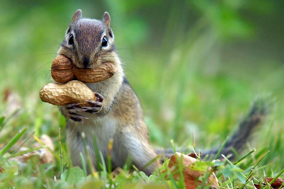 a chipmunk with peanuts in it's mouth