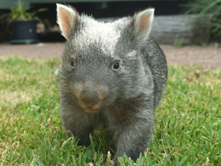 George the orphaned baby wombat has turned one, an event marked by a new viral video