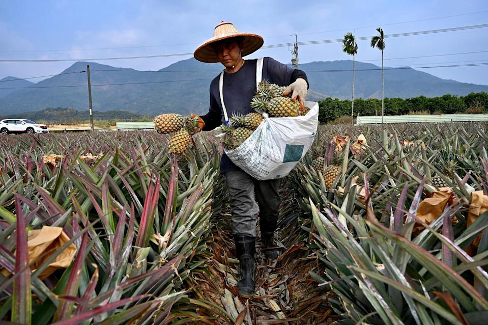 Image: A farmer harvesting pineapples in Pingtung county in Taiwan (Sam Yeh / AFP via Getty Images file)