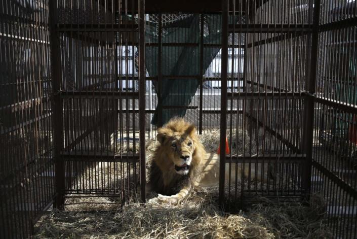 <p>A former circus lion rests inside a cage on the outskirts of Lima, Peru, on April 26, 2016. <i>(Martin Mejia/AP)</i></p>