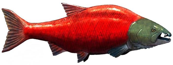 An illustration by Jacob Biewer of what the giant, spike-toothed salmon may have looked like. <cite>Society of Vertebrate Paleontology</cite>