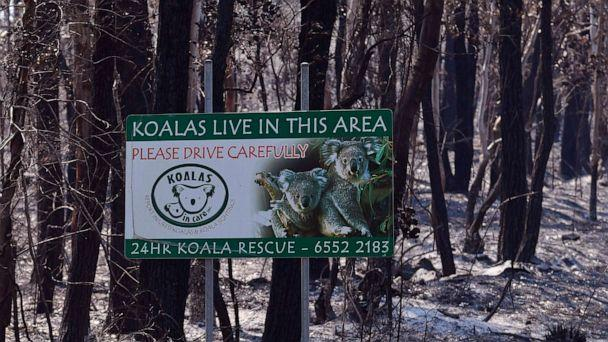 PHOTO: A sign, indicating koalas live in the area, stands in a burnt out forest near the town of Taree, Sydney, on Nov.14, 2019. (William West/AFP via Getty Images, FILE)