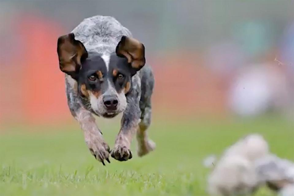 canine athlete jumping