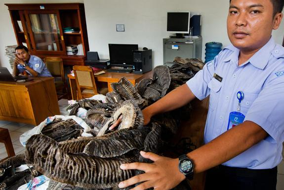 Indonesian Ministry of Fisheries personnel display confiscated manta ray gills at their offices in Negara, Jembrana, Bali.