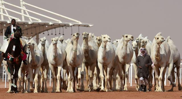 Camels walking at a beauty contest as part of the annual King Abdulaziz Camel Festival. (Photo: Getty Images)