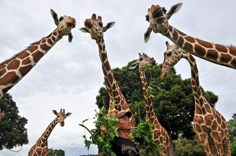Giraffes being fed leaves on September 18, 2011 at Calauit Game Preserve and Wildlife Sanctuary in Calauit Island, Busuanga province, western Philippines