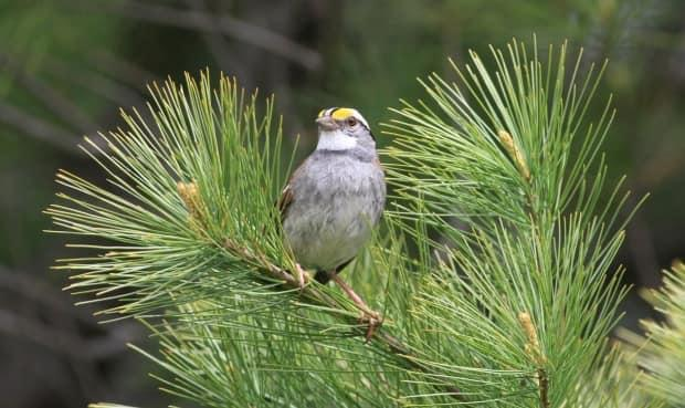 To make your backyard more attractive to birds, it's best to have a feeder for sparrows, like the one pictured, and other feeders for other types of birds. (Scott Ramsay/Submitted by The University of Northern British Columbia - image credit)