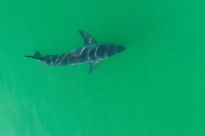 Scientists use drones to study great white sharks along California coast