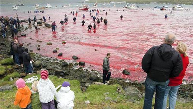 Locals in the Faroe Islands watch the water turn blood red during the annual whale hunt.