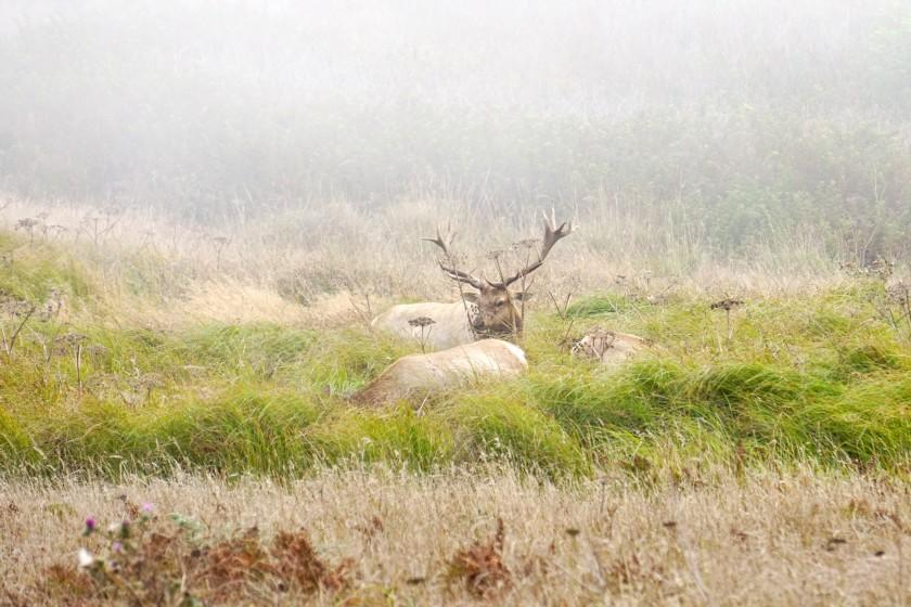 Tule elk are found only in California They inhabited the Point Reyes peninsula for about 10,000 years until they were eliminated by hunters and ranchers in the late 1800s. They were reintroduced to Point Reyes in 1978 but are once again endangered by encroaching farm development. Credit