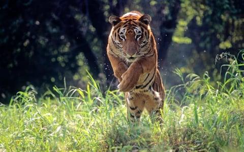 One more in my series of many moods of the Indian tiger. Animal Royal Bengal Tiger jumping through long green grass - Credit: Getty