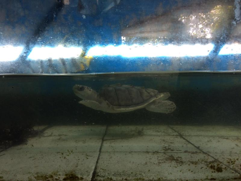 A baby turtle in a dirty shallow tank.