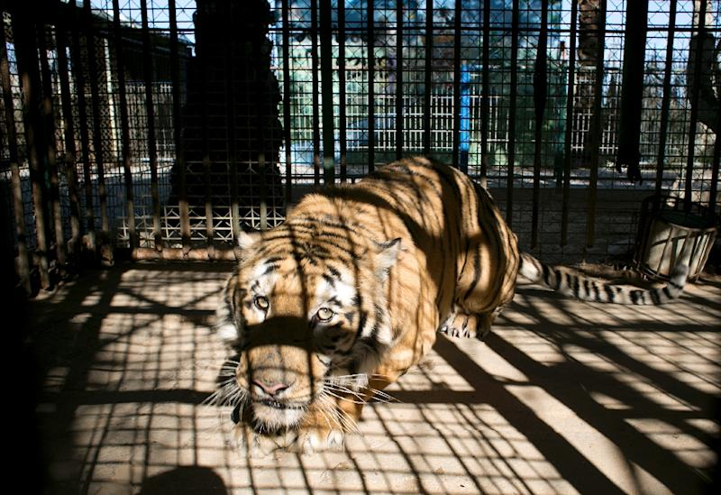 A tiger looks out from inside its cage at a zoo in Khan Yunis, in the southern Gaza Strip, on March 5, 2016 (AFP Photo/Said Khatib)