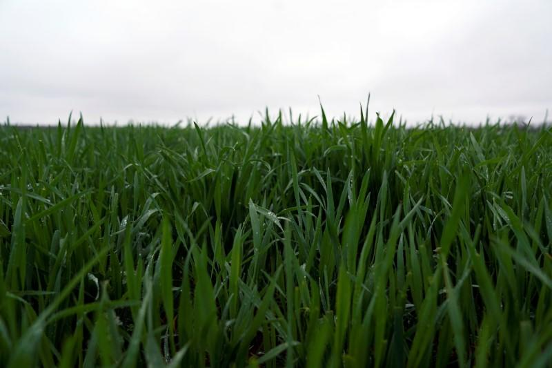 Winter wheat grows at Ward Family Farms in Pawnee
