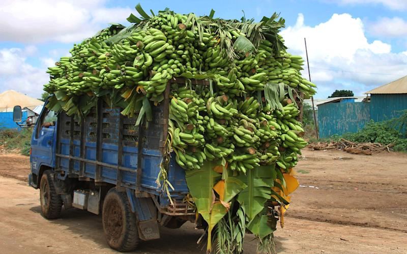 """In this photo of Sunday, May 27, 2012 a pickup truck carries bananas from a farm in Afgoye town, near the Somali capital Mogadishu, to a nearby market. Farmers from the Somali town of Afgoye _ an al-Shabab stronghold until last week _ filled their trucks with produce and drove across what used to be the frontline between government troops and insurgents. Farmers are rejoicing at the African Union's latest success: They will no longer have to pay 50 percent in """"taxes"""" to militants. (AP Photo/Farah Abdi Warsameh)"""
