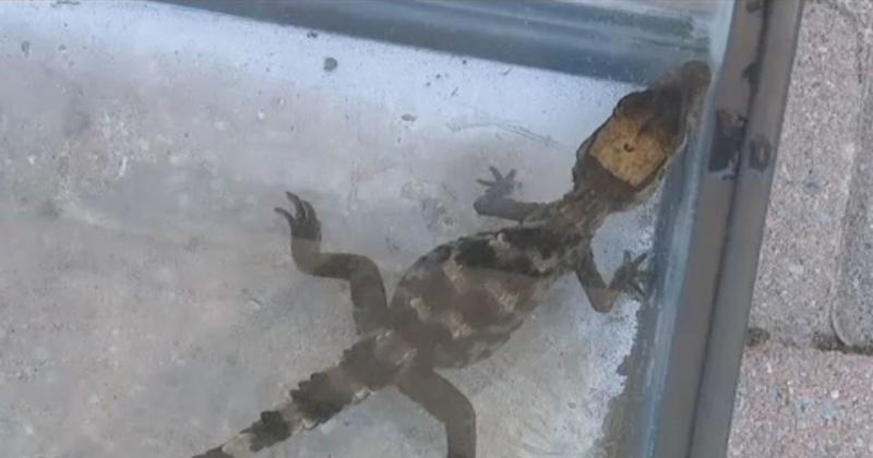 Long Island Man Finds Baby Alligator in His Swimming Pool During New York Heatwave