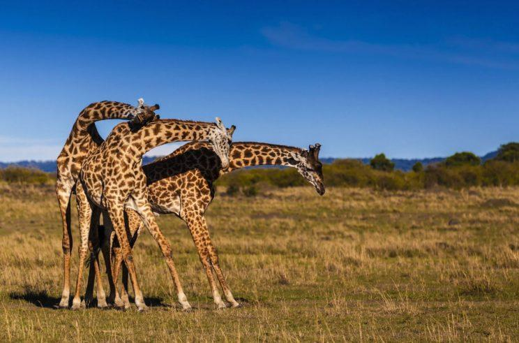 Giraffes are becomingly increasingly threatened (Picture: Rex Shutterstock)