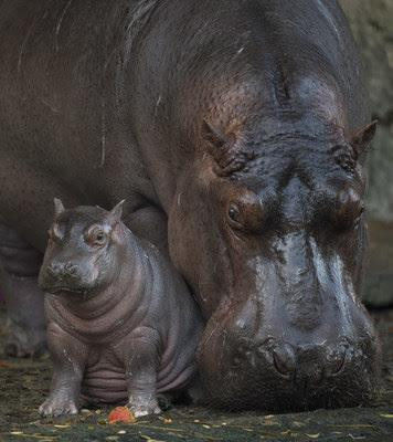 There's a new baby hippo at Disney's Animal Kingdom at Walt Disney World Resort — and it's a boy. Meet Augustus. (Photo: Walt Disney World Resort)